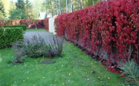 Живая изгородь в вашем загородном доме