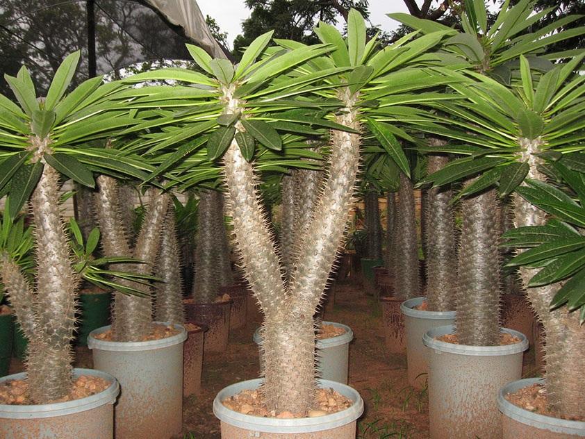 Прекрасные и опасные комнатные растения